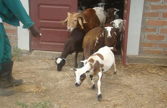 Crise à Mossendjo : Il vole 10 moutons les vend à 7000 Fcfa chacun, pour s'acheter un « téléphone tactile »