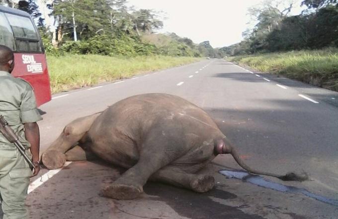 Circulation routière : Collision entre un éléphant et un bus dans le parc Odzala