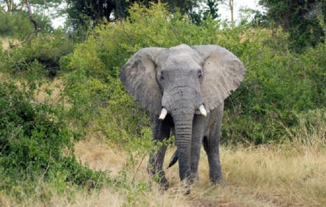 Kibangou : Un éléphant piétine à mort une femme