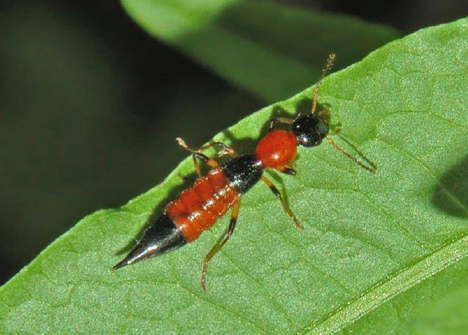 L'insecte « Cara-cara » refait surface à Brazzaville